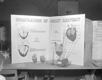 Southwestern Minnesota Science Fair project on heart anatomy at Mankato State College, 1964-04-15.