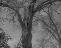 Man in a tree, with ladder, cutting tree branches at Mankato State College, 1964-05-07.