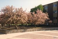 Beautiful flowery trees out side the campus mall in Mankato State University. 05-16-1989.
